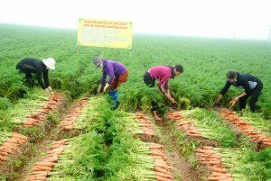 Phương pháp trồng Cà rốt