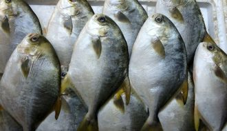 Bất ngờ với kỹ thuật nuôi cá chim trắng vây vàng ít ai biết
