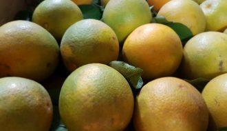 Bệnh loét ở cây ăn quả và phương pháp phòng trừ