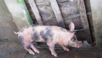Bệnh tiêu chảy phân xám ở lợn do Balantidium Coli: Biện pháp phòng và điều trị