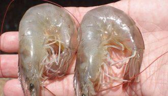 Biện pháp phòng bệnh tôm cong thân một cách hiệu quả