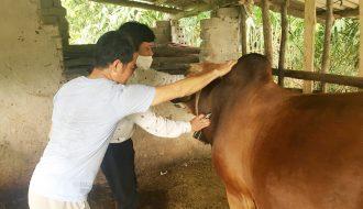 Biện pháp phòng tránh về bệnh tụ huyết trùng ở trâu và bò tốt nhất