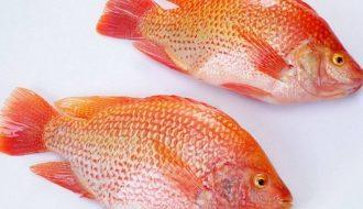 Phương pháp điều trị bệnh thường gặp ở cá diêu hồng