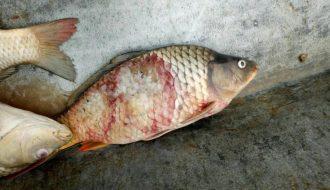 Cách phòng và điều trị bệnh lở loét trên cá nước ngọt
