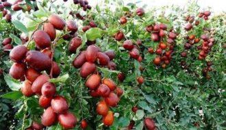 Cây táo tàu - Loài cây được yêu thích và có nhiều giá trị kinh tế