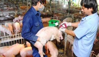 Chia sẻ: 4 bệnh dịch ở gia súc và cách phòng ngừa hiệu quả