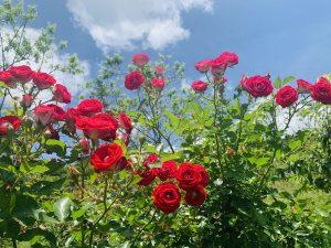 phương pháp trồng hoa hồng