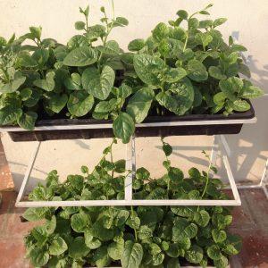 cách trồng rau mồng tơi