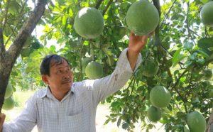 Đặc sản bưởi da xanh trồng miền núi Khánh Hòa