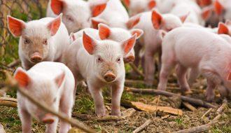 Độc đáo mô hình chăn nuôi lợn sạch bằng cám thảo dược mới lạ