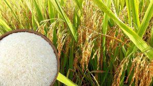 giá gạo tại châu á tăng mạnh