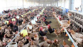 Giá thịt gà trên thị trường cả nước có biến động nhẹ