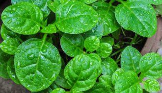 Chia sẻ những kinh nghiệm trồng rau mồng tơi sạch