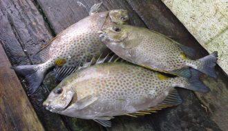 Kỹ thuật nâng cao hiệu quả trong ương cá dìa với từ nhỏ đến lớn