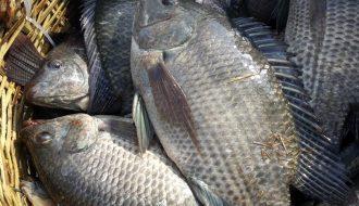Kỹ thuật nuôi cá rô phi đơn tính đơn giản mà lợi nhuận cao