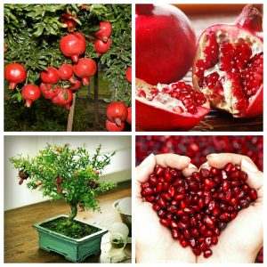 trồng cây lựu đỏ lùn