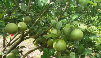 Mách bạn phương pháp trồng cam siêu đơn giản mà năng suất cao