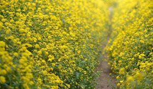trồng cúc vàng