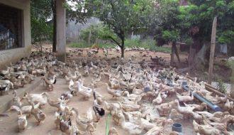 Mách nhỏ cách chăn nuôi vịt siêu trứng đạt hiệu quả cao