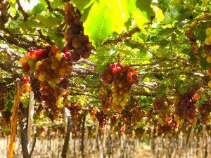 Nho đặc sản vùng nắng gió Ninh Thuận thơm lừng mùa chín