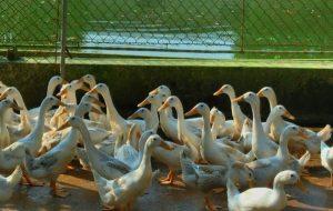 Nhu cầu về chế độ dinh dưỡng đối với vịt sinh sản