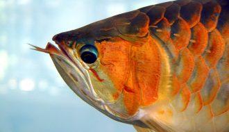 Những căn bệnh thường gặp ở cá rồng và cách điều trị hợp lý