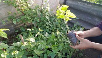 Phát hiện thú vị về cách trồng cây lạc tiên siêu đơn giản
