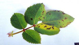 Phòng bệnh đốm lá vi khuẩn cho cây trồng