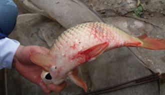 Phòng bệnh thích bào tử trùng trên cá nuôi đơn giản