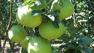bệnh trên cây quả có múi