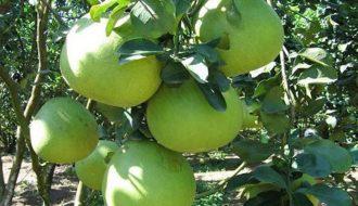 Phòng bệnh trên cây quả có múi và phương pháp chữa trị triệt để