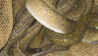Phòng một số bệnh cho cá chình trong ao đất hiệu quả