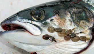 Phòng và ngăn chặn bệnh rận biển xuất hiện ở cá hồi