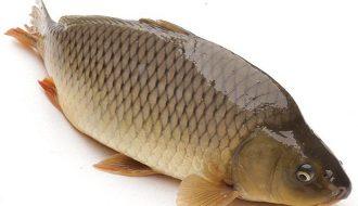 Phương pháp điều trị một số căn bệnh nhiễm khuẩn thường gặp ở cá nuôi