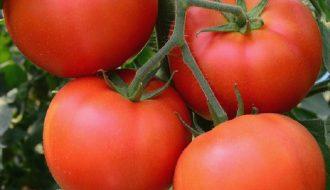 Phương pháp phòng bệnh hại cây cà chua