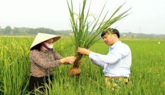 Phương pháp phòng trừ bệnh lùn xoắn lá ở lúa