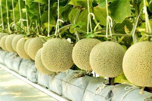 Phương pháp trồng dưa lưới trong nhà màng siêu lợi nhuận