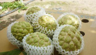 Mãng cầu Bà Đen - Sản vật nức tiếng của vùng núi Tây Ninh