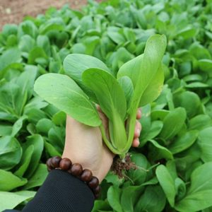 trồng cải chíp