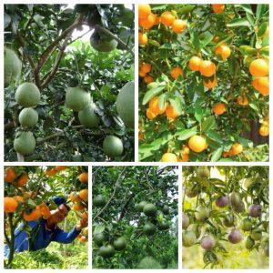phương pháp trồng cây ăn quả có múi