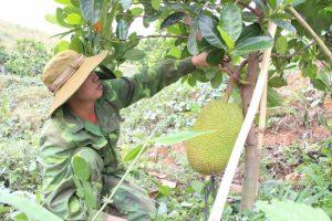Trang trại 230ha cây mít, sầu riêng chất lượng cao tại Kon Tum