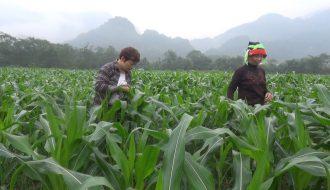 Kỹ thuật trồng ngô sinh khối vụ đông cho năng suất cao